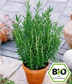 BIO-Rosmarin,1 Pflanze Rosmarinus officinalis