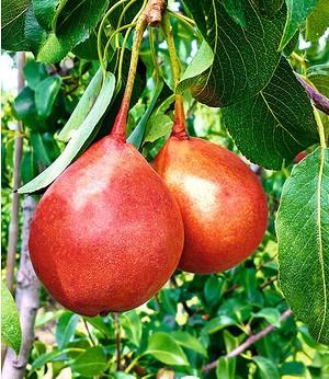 """Birnen-Rarität """"Rinus"""",1 Pflanze"""