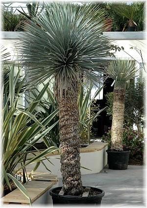 blaubl ttrige yucca yucca rostrata g nstig online kaufen. Black Bedroom Furniture Sets. Home Design Ideas