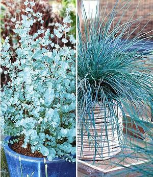 Blaue Kollektion,2 Pflanzen