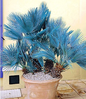 Blaue Zwerg-Palme,1 Pflanze