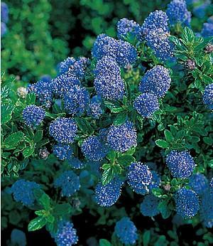 """Blauer Ceanothus """"Blue Mound"""",1 Pflanze"""