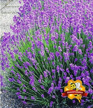 Blauer Lavendel,3 Pflanzen