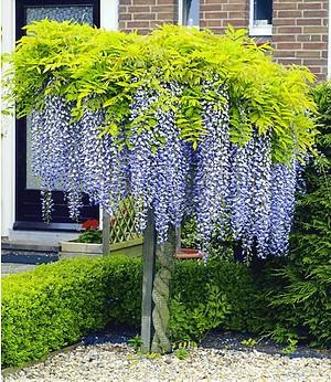 Blauregen auf Stamm,1 Pflanze