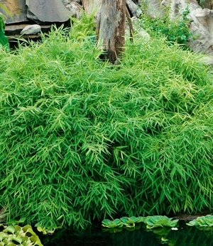 "Bodendecker-Bambus ""La Bamboo"",1 Pflanze"