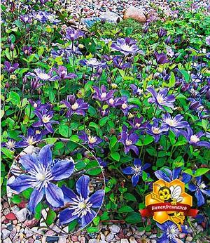"""Bodendecker-Clematis """"Arabella"""",2 Pflanzen"""