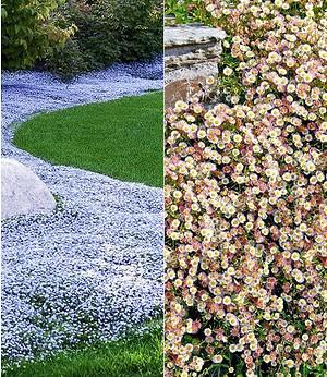 Bodendecker-Kollektion blau und weiß,6 Pflanzen