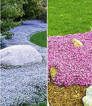 Bodendecker-Kollektion pink und blau,6 Pflanzen