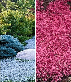 Bodendecker-Kollektion rot und blau,6 Pflanzen