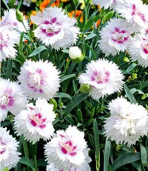 "Bodendecker-Nelke Diantica® ""White & Eye"",3 Pflanzen"