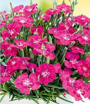 "Bodendecker-Nelke ""Purple Pillow"",3 Pflanzen"