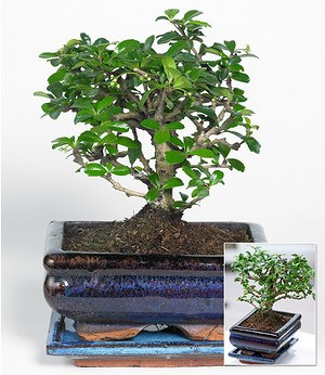 Bonsai Carmona,1 Pflanze
