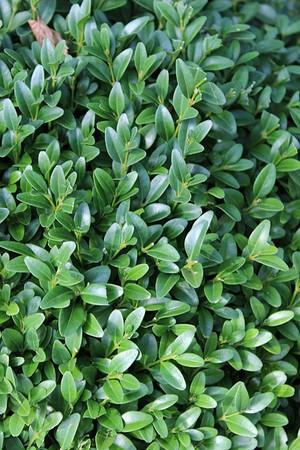 Buchs, Buchsbaum 'Arborescens'(50 cm)