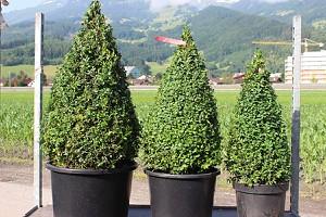 Buchs, Buchsbaum 'Arborescens'als Kegel geschnitten (60 cm)