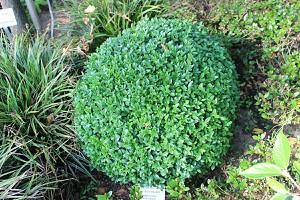 Buchs, Buchsbaum 'Arborescens'zur Kugel geschnitten (45 cm)