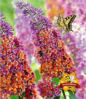 "Buddleia ""Flower-Power®"",1 Pflanze"