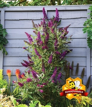 """Buddleia """"Straight UP - Butterfly Tower"""",1 Pflanze"""