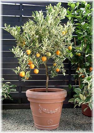 Calamondin, buntlaubig Citrofortunella mitis ´Variegata`