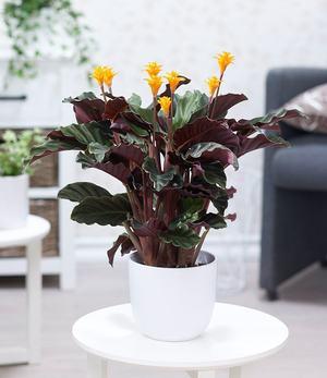 Calathea Crocata,1 Pflanze