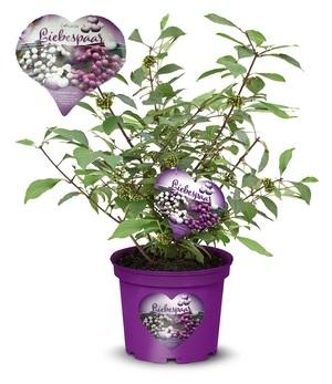 "Calicarpa ""Liebespaar"",1 Pflanze"