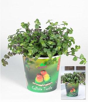 """Callisia """"Turtle"""",1 Pflanze"""