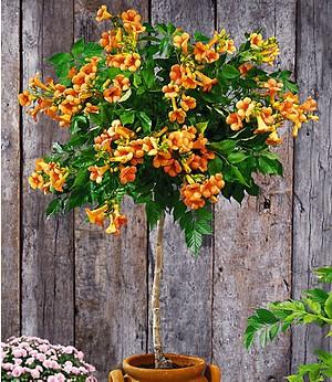 "Campsis-Stämmchen ""Indian Summer®"",1 Pflanze"