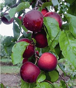 Cherrykose®,1 Pflanze