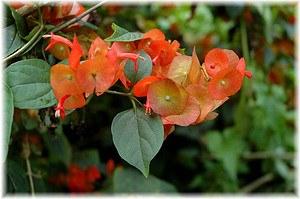 Chinesenhutpflanze Holmskioldia sanguinea