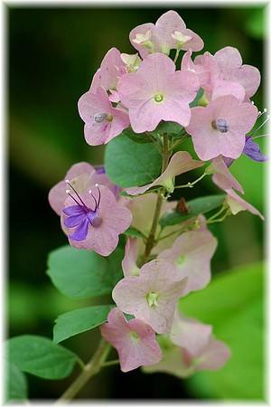 Chinesenhutpflanze Holmskioldia tettensis ´Mandarin Blue`