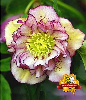"""Christrose """"Double Ellen Picotée"""",1 Pflanze"""