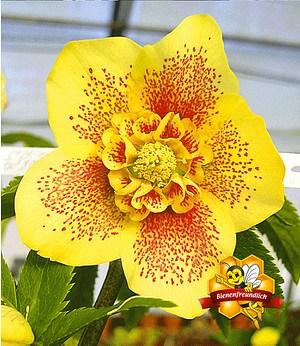 "Christrose ""Hantay"",1 Pflanze"