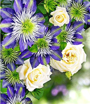 "Clematis ""Crystal Fountain TM Fairy Blue"" & Rose ""Blanche Colombe®"""