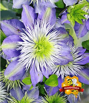"Clematis ""Crystal Fountain TM"",1 Pflanze"
