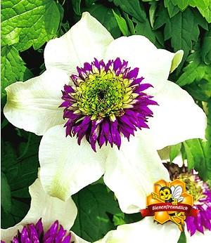 """Clematis """"Florida Sieboldii"""",1 Pflanze"""