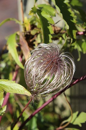 Clematis, Waldrebe 'Golden Tiara'