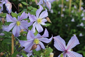 Clematis, Waldrebe 'Prince Charles'