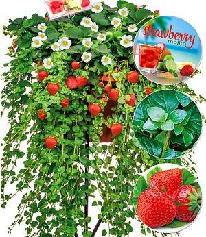 """Cocktail-DUO """"Strawberry Mojito"""",3 Pflanzen"""