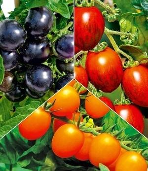 Cocktail-Tomaten-Pflanzen Kollektion,3 Pflanzen