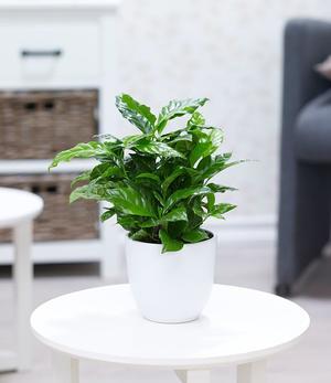 Coffea arabica,1 Pflanze