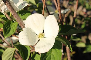 Cornus Venus (Blumenhartriegel)