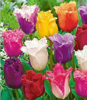 """Crispa-Tulpen """"Spring Blend"""",10 Zwiebeln"""