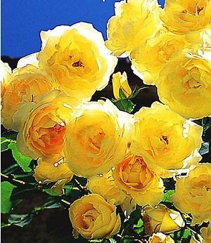"""Delbard Kletter-Rose """"Dune®"""",1 Pflanze"""