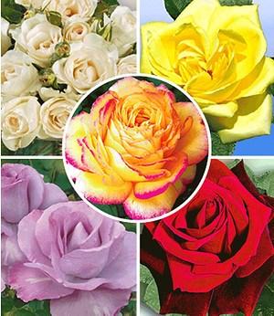 "Delbard Kollektion ""Parfum-Rosen"",5 Pflanzen"