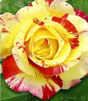 """Delbard Maler-Rose® """"Camille Pissaro®"""",1 Pflanze"""