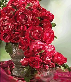 "Delbard Maler-Rose® ""Henri Matisse®"",1 Pflanze"