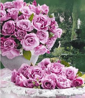 "Delbard Parfum-Rose ""Dioressence®"",1 Pflanze"