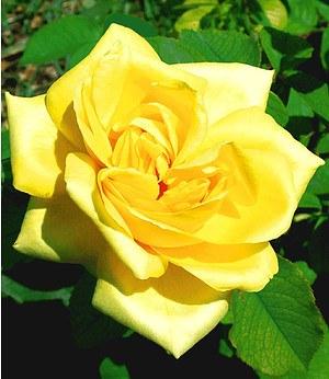 """Delbard Parfum-Rose """"Président A. Zinsch®"""",1 Pflanze"""