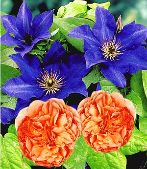 "Delbard Set Clematis ""The President"" &  Rose ""Papi Delbard®"",2er-Set"