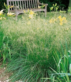 Deschampsia flexuosa,3 Pflanzen