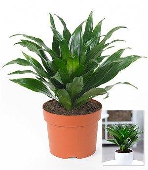 h ngepflanze efeutute 1 pflanze g nstig online kaufen. Black Bedroom Furniture Sets. Home Design Ideas
